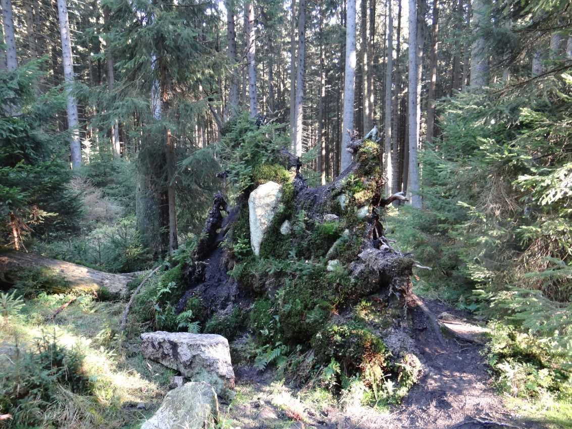 Wurzelteller Nationalpark Brocken